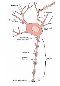 شکل 1: نمونه عصب واقعی